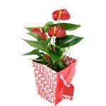 Anthurium Flamingo Çiçeği 14Ø Taşıma Çantalı