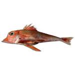 Öksüz Balığı