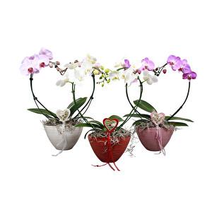 Kalp Şekilli Orkide Çiçeği Phalaenopsis MF 24Ø