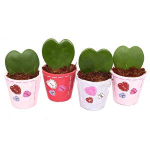 Kalp Yapraklı Mum Çiçeği - Hoya Kerrii