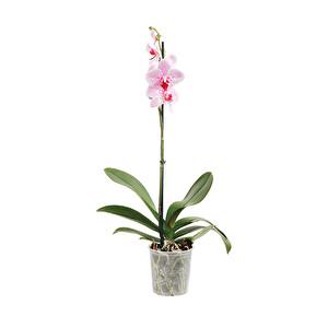 Karışık Renklerde Tek Dal Orkide